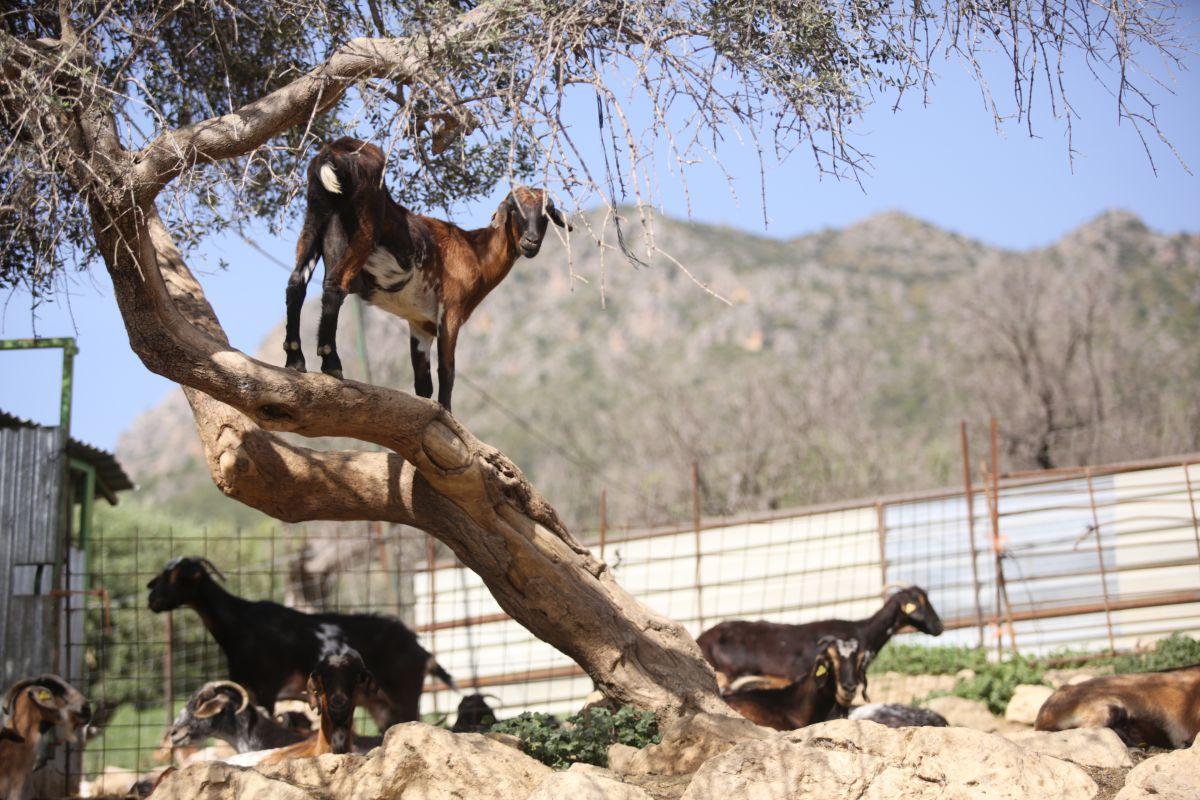 La oveja merina y la cabra payoya son dos de las estrellas de la serranía gaditana.