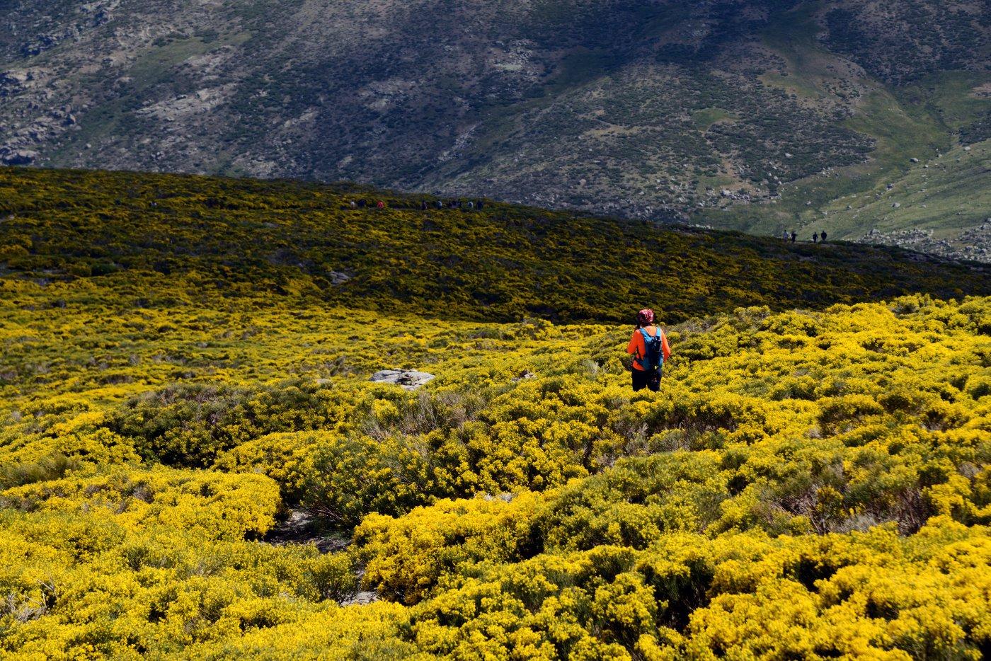 Piornos en flor en Gredos (apertura)