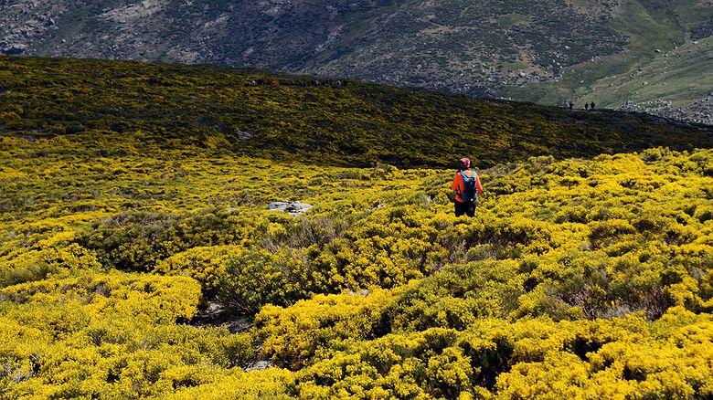 Los piornos en flor en la Sierra de Gredos