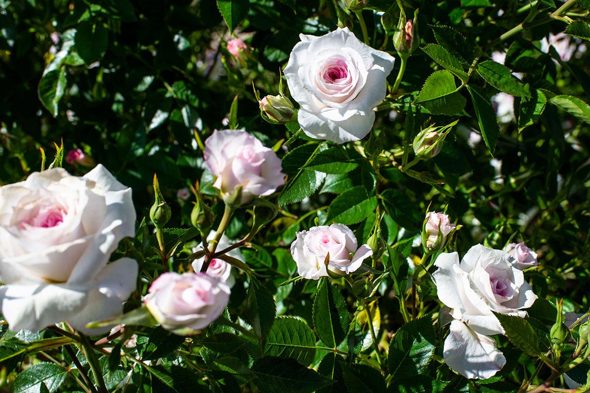 Un rosal repleto de rosas blancas con tonalidades en rosa de la variedad Fluribunda, del francés Michel Adams en La Rosaleda del Parque del Oeste (Madrid).