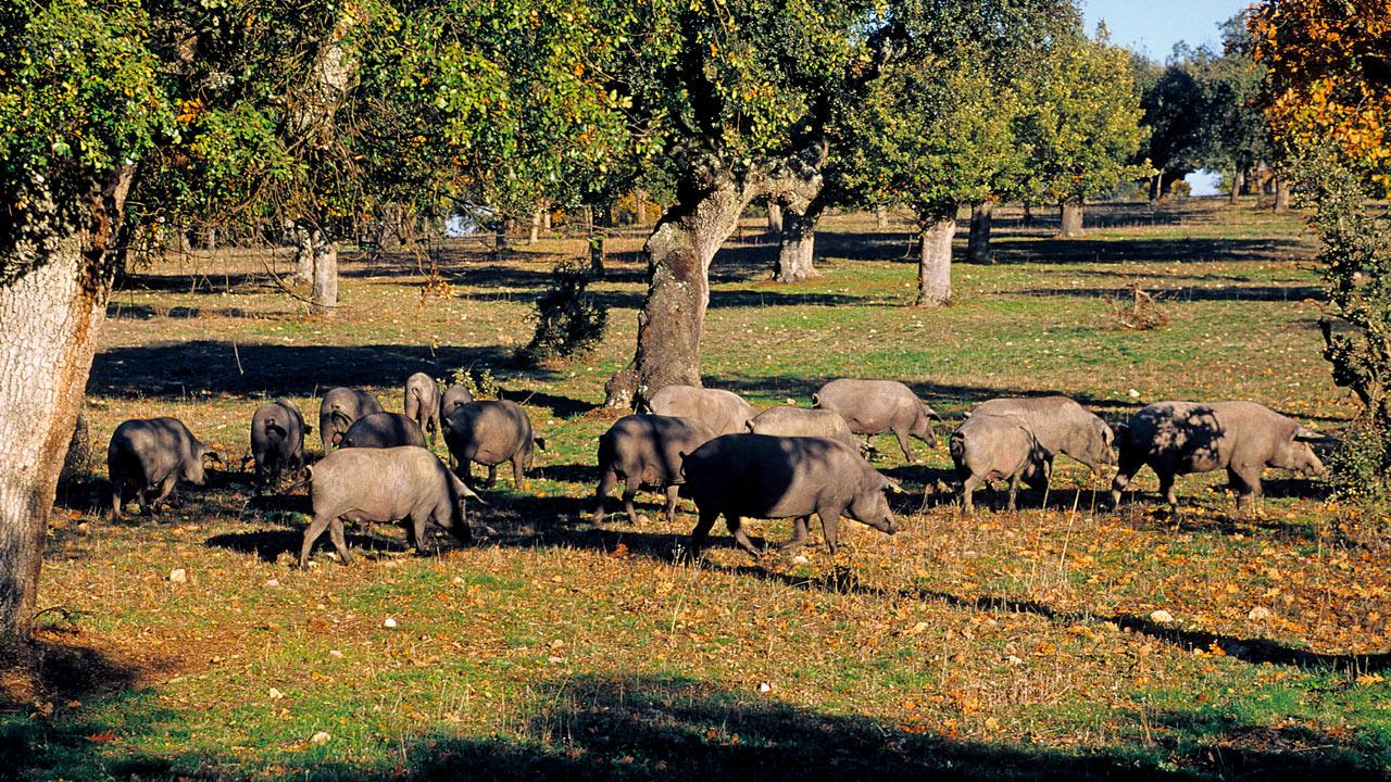 El cerdo de bellota 100% ibérico es aquél que ha desarrollado toda su vida en la dehesa. Foto: Cedida.