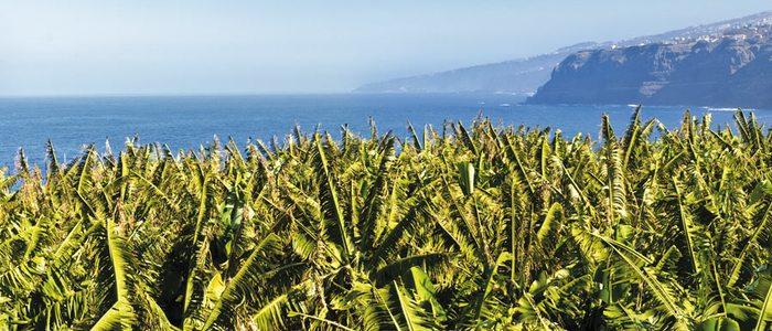 Plataneras en Gran Canaria.