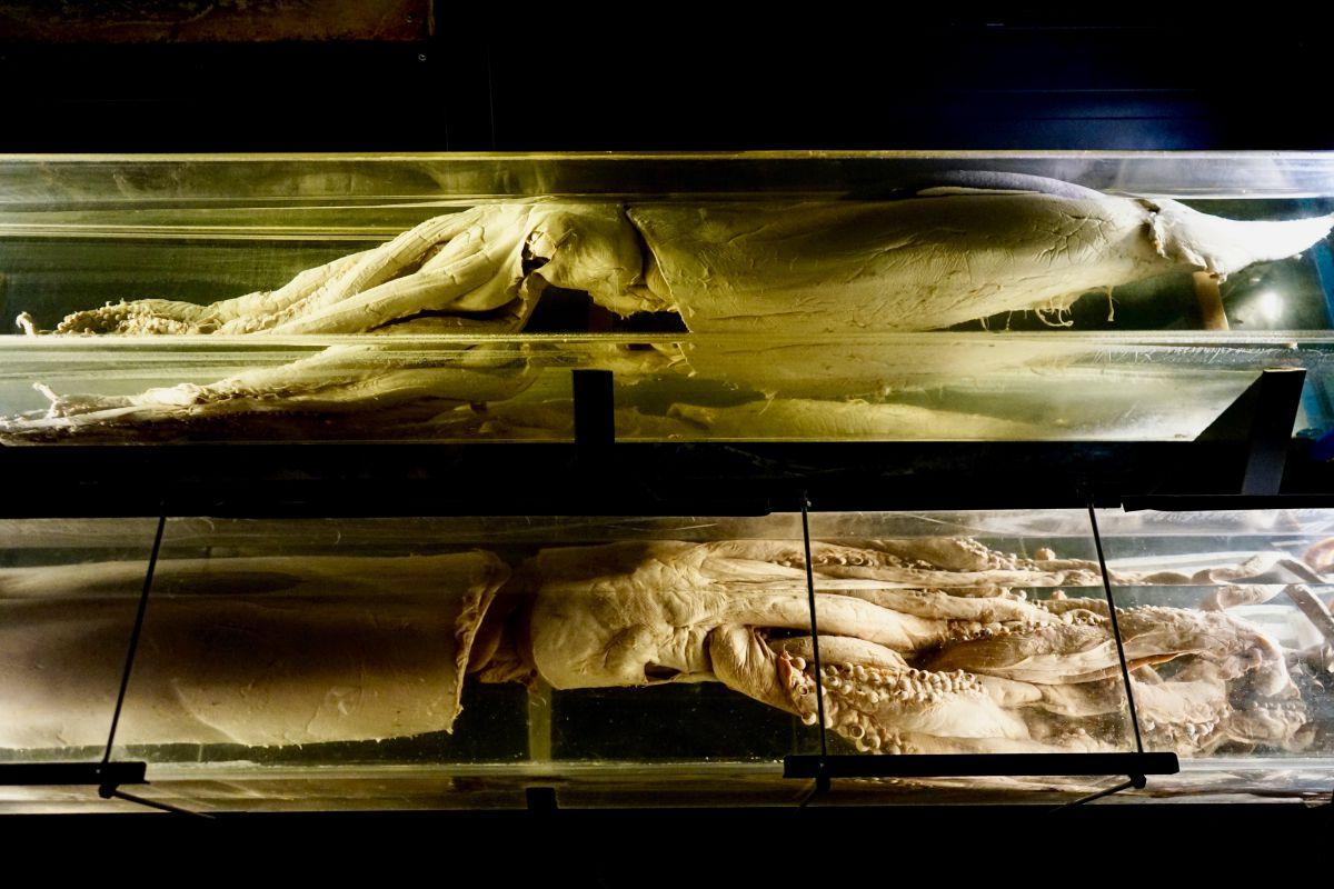Calamares gigantes del Cantábrico, en Luarca (Asturias).