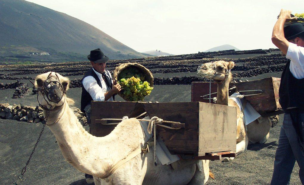 Homenaje a la vendimia tradicional de Lanzarote con dromedarios. Foto: Facebook Bodega La Geria