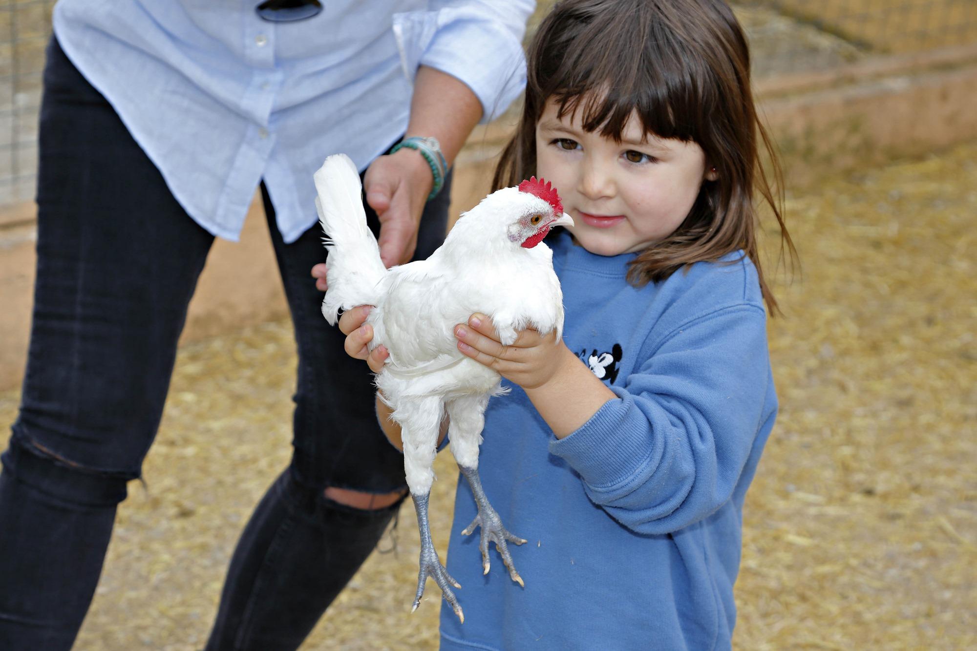 Sostener una gallina, todo un reto para niños urbanitas.