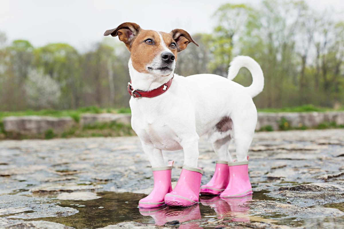 Sí, también hay botas para proteger las patitas de tu can. Foto: shutterstock.
