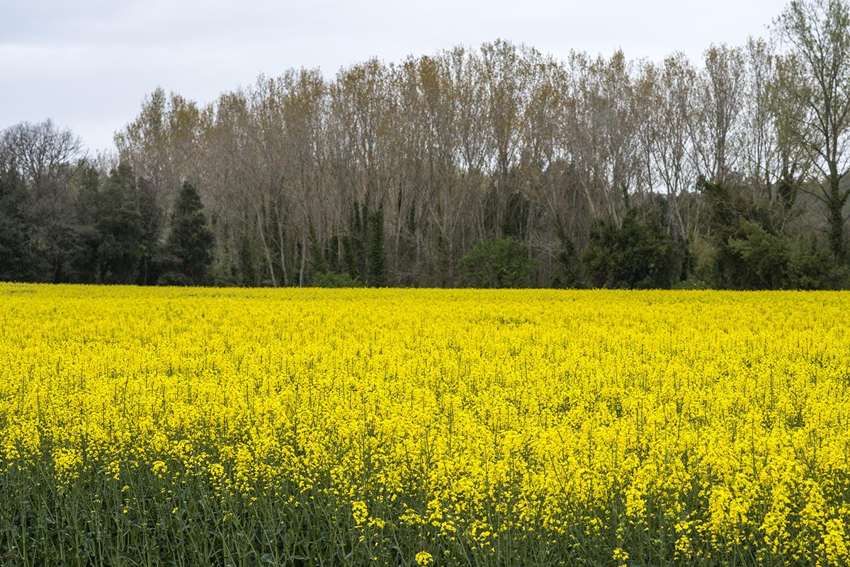 Cuando la primavera ha sido húmeda, los campos de colza estallan como nunca.