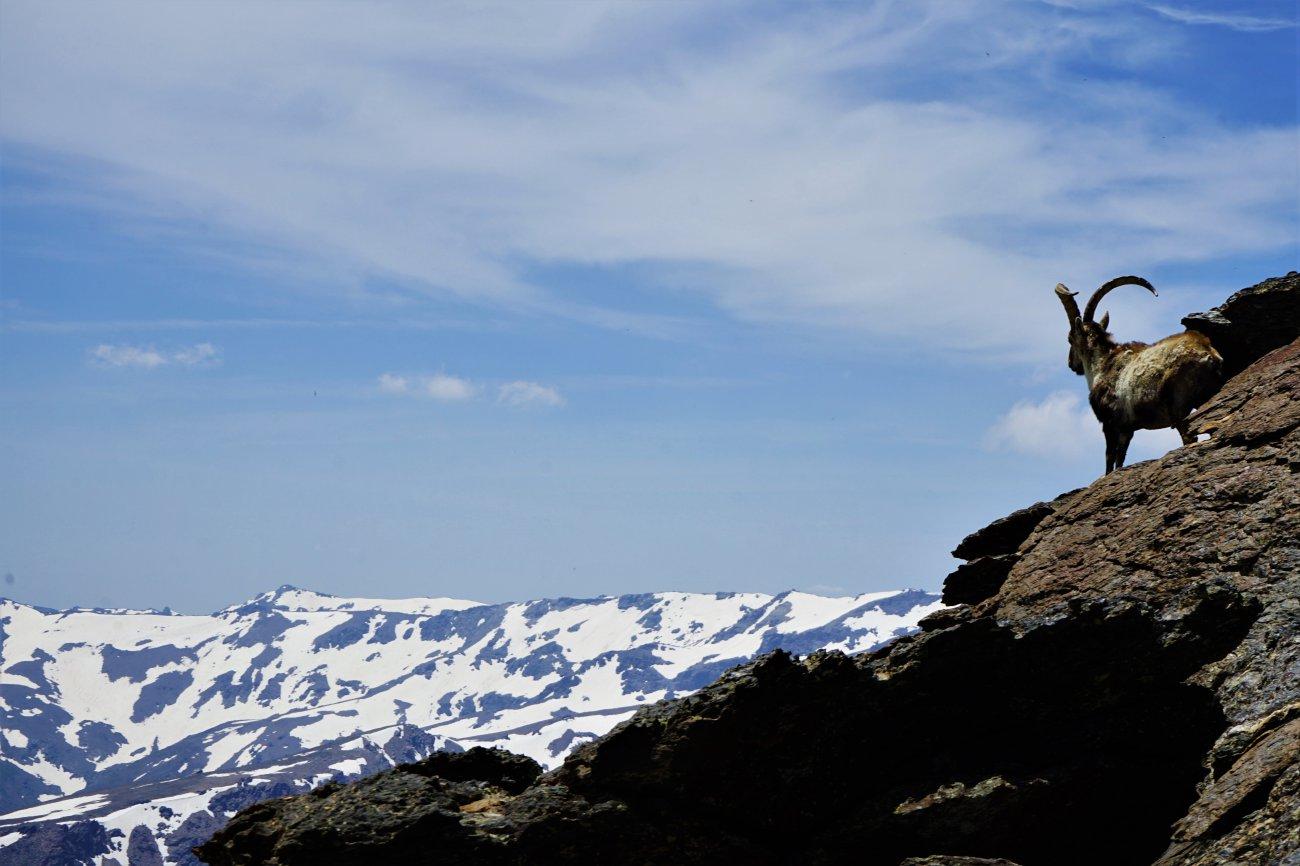Ascenso al Mulhacén: Cabras íbices