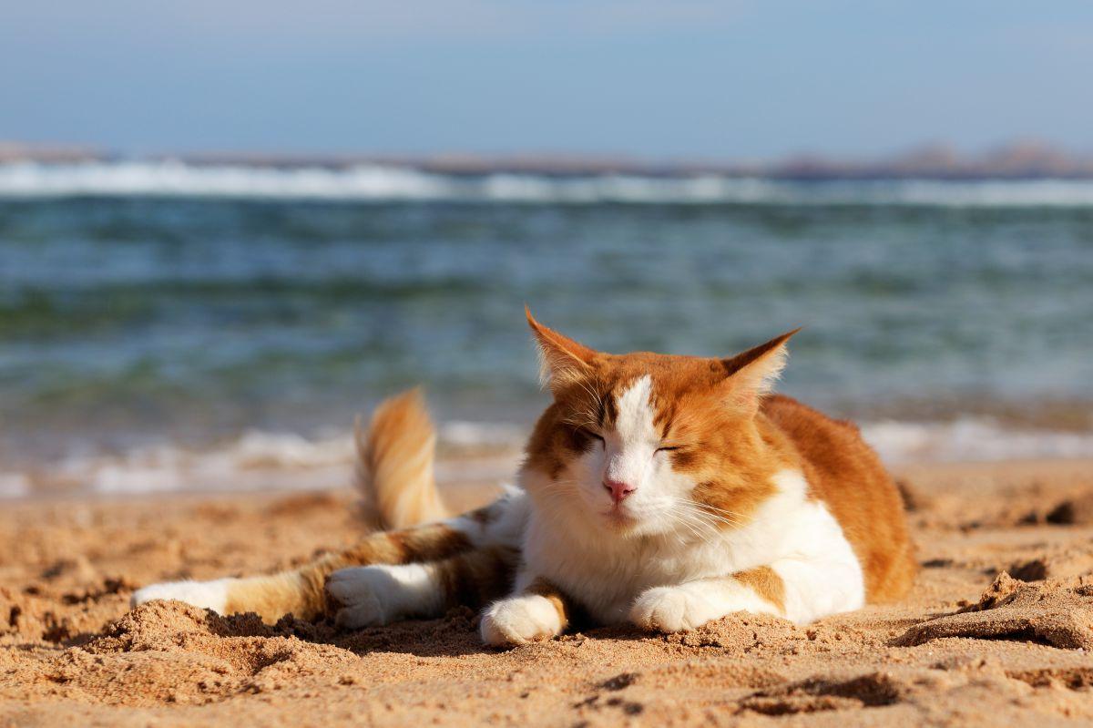 Los gatos son animales muy sensibles y debemos prepararlos bien para el viaje. Foto: shutterstock