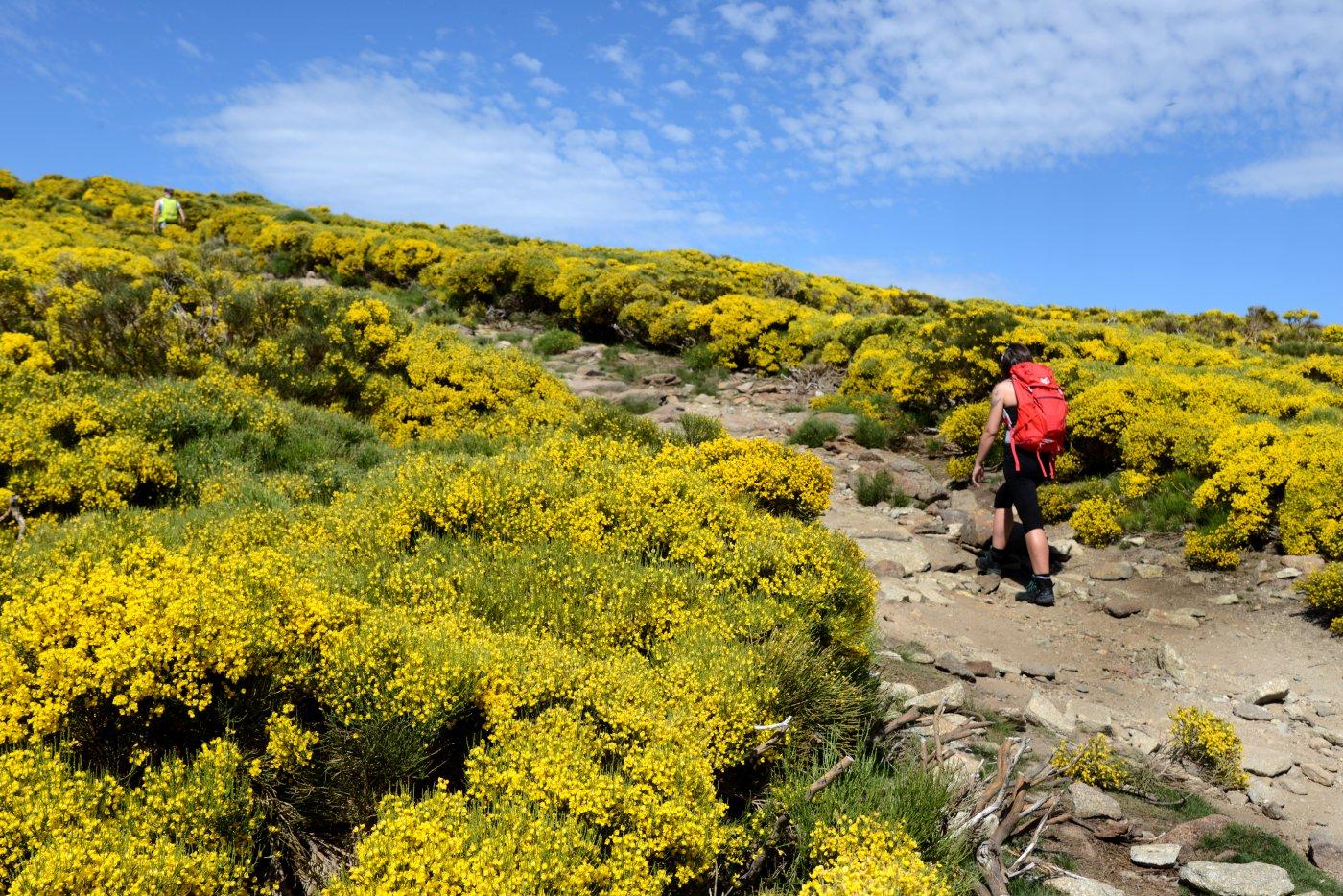 Piornos en flor en Gredos (3)