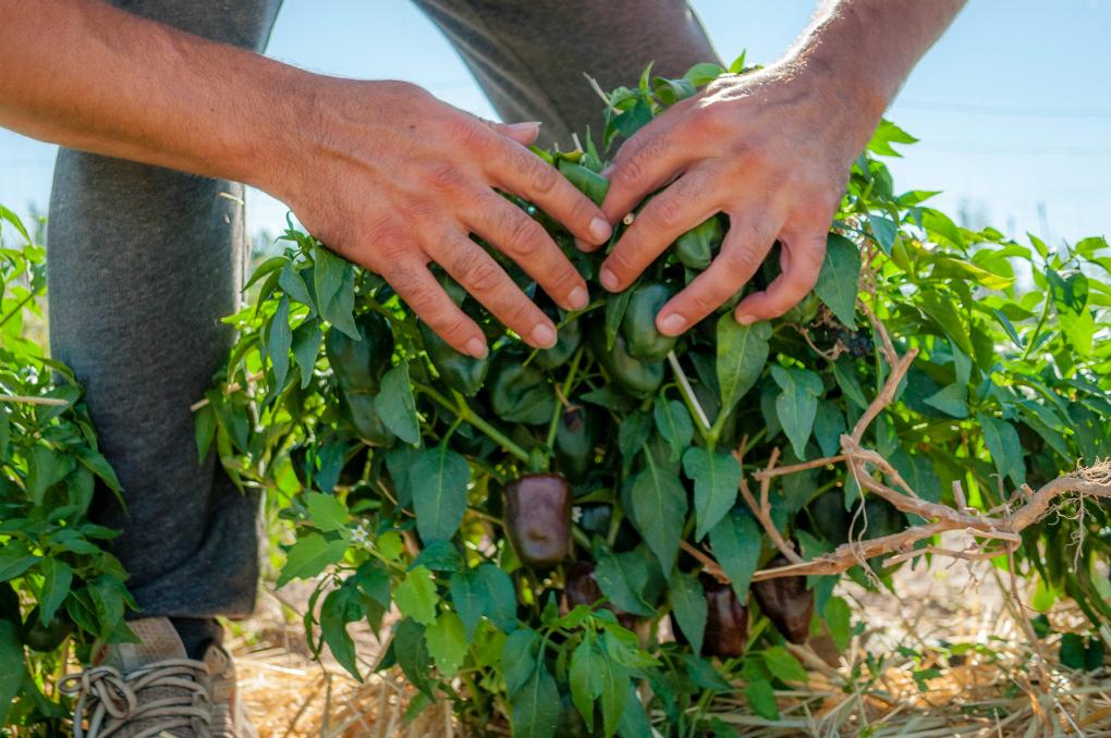 El chilhuacle negro, en peligro de extinción, sabe a tabaco, chocolate y pasas. Foto: Beto Troconis.