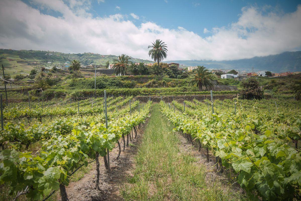 Los vinos de esta tierra tienen un ADN exótico y volcánico que los diferencia.