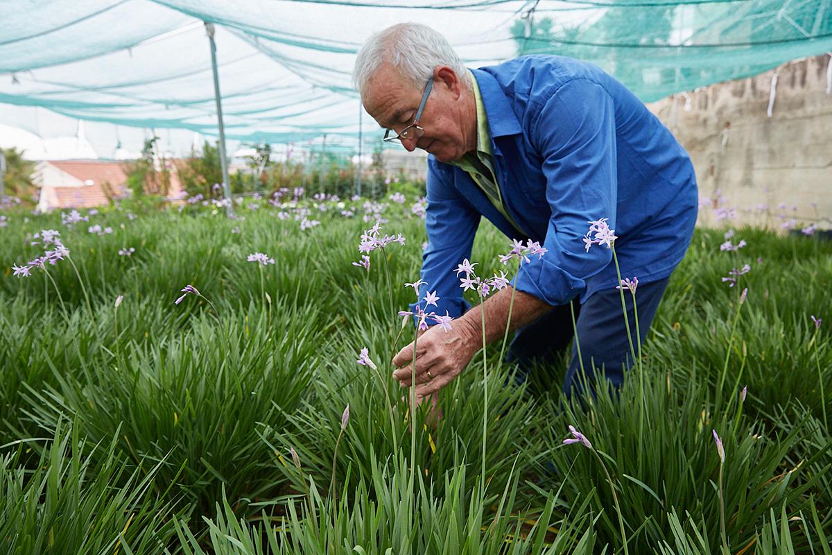 José Grima corta una flor de ajo.