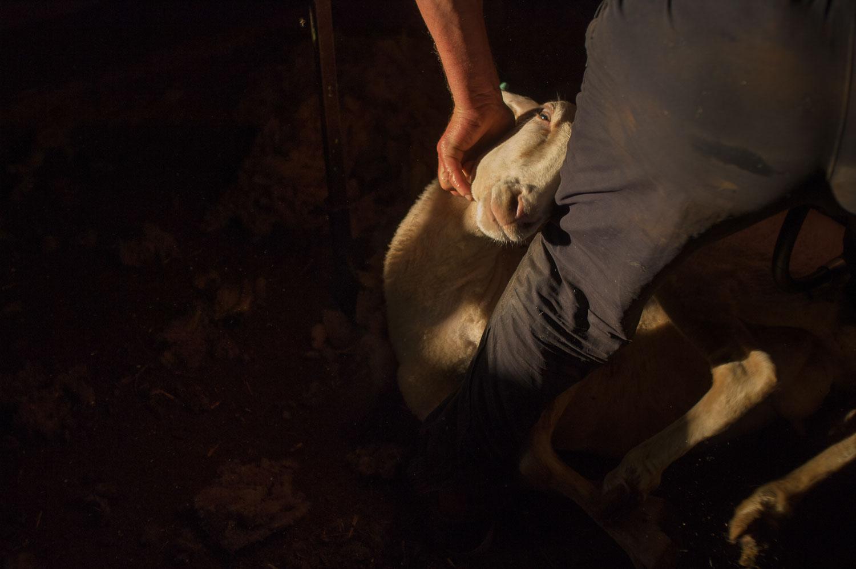 Las ovejas son las auténticas reinas de esta finca.