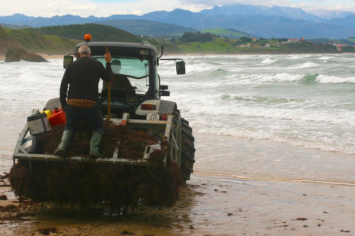 Las mareas vivas y las marejadas de otoño arrancan gran cantidad de algas rojas. Foto: Guillermo Calvo.