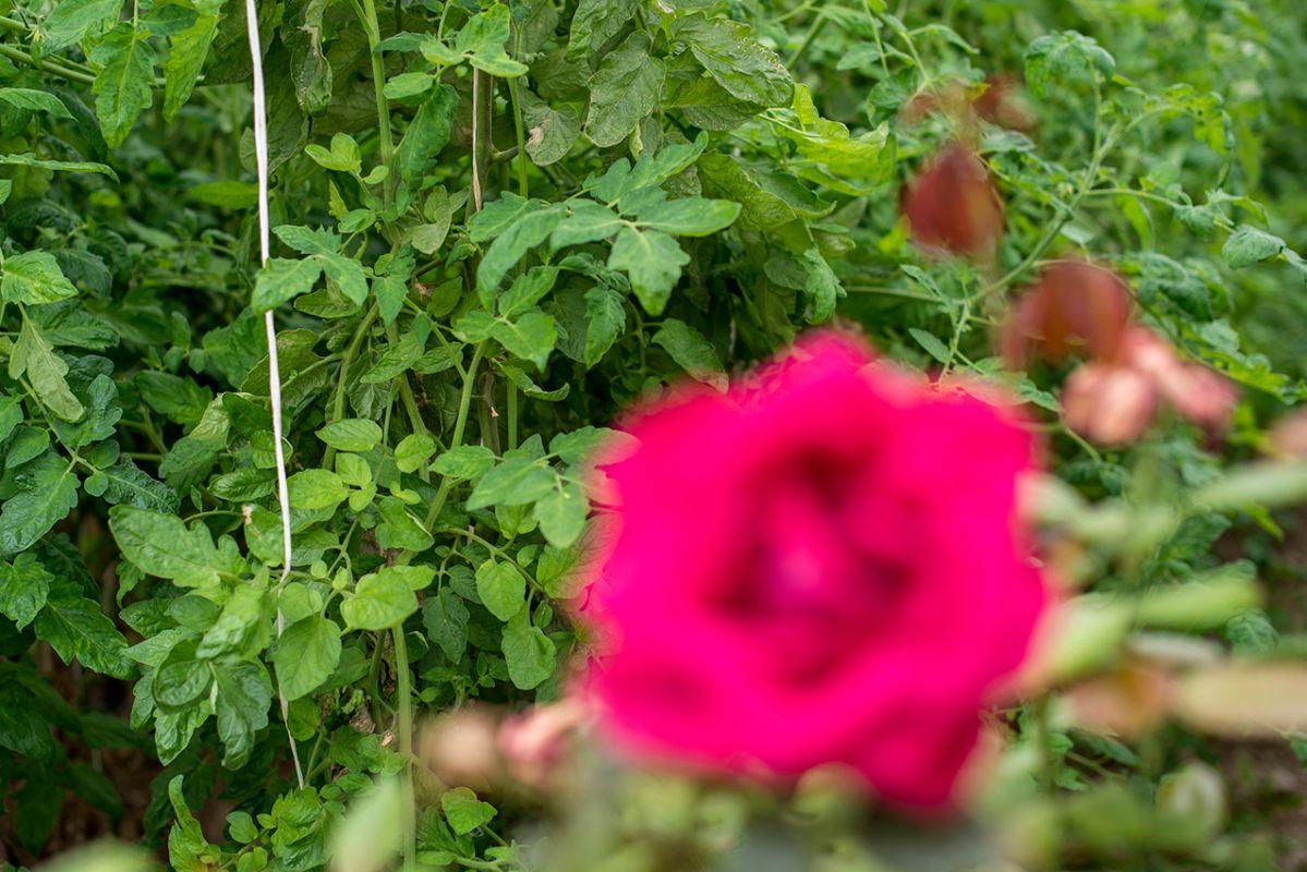 Un rosal junto a las tomateras detecta la aparición de bichos.