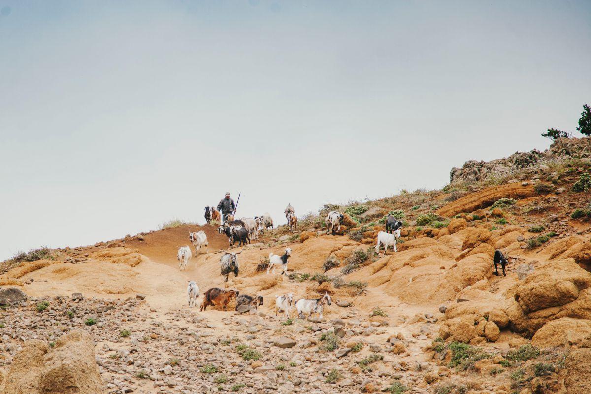 Un pastor con cabras por el parque rural de Teno, en Tenerife.