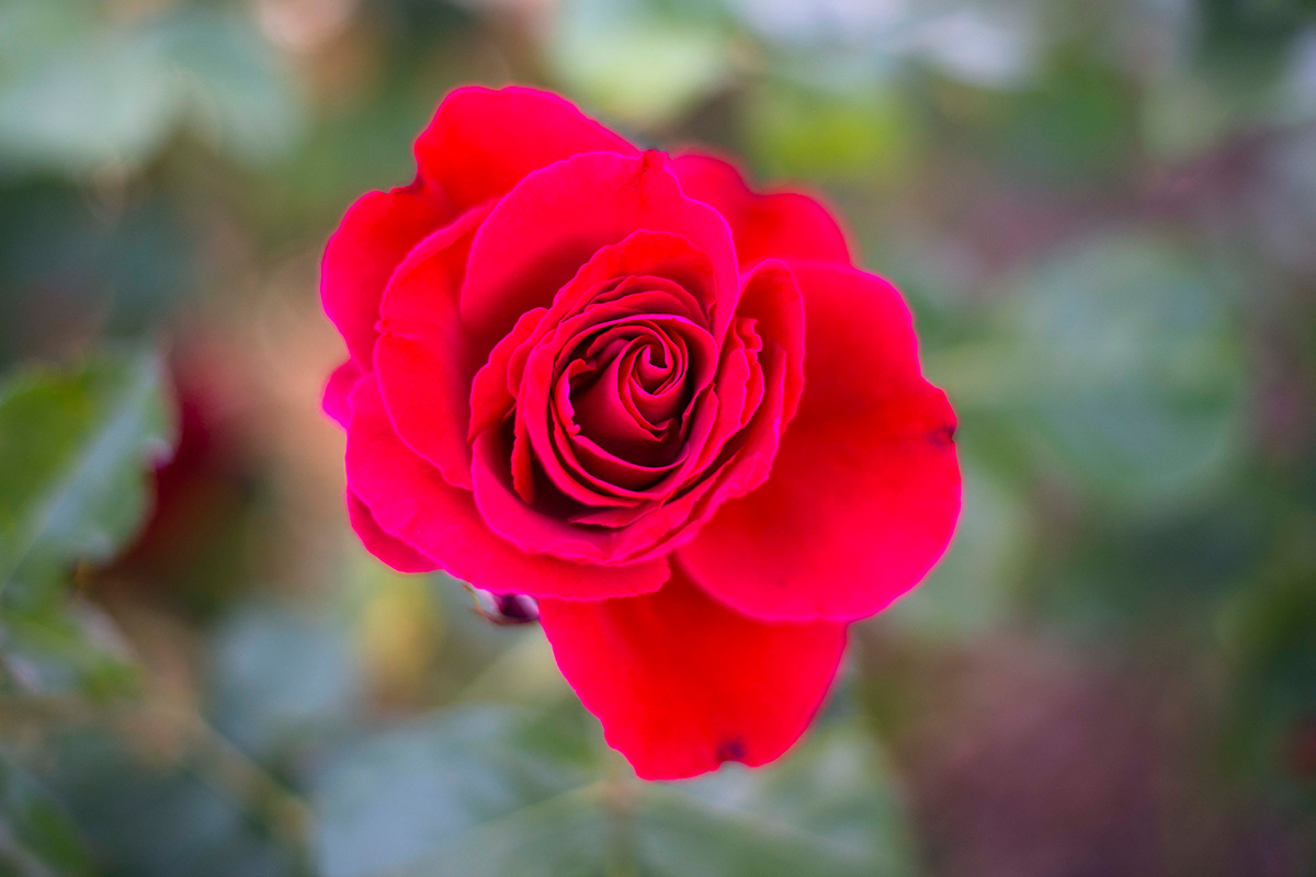 Una rosa roja creada por el rosalista Francis Meilland, en La Rosaleda del Parque del Oeste (Madrid).