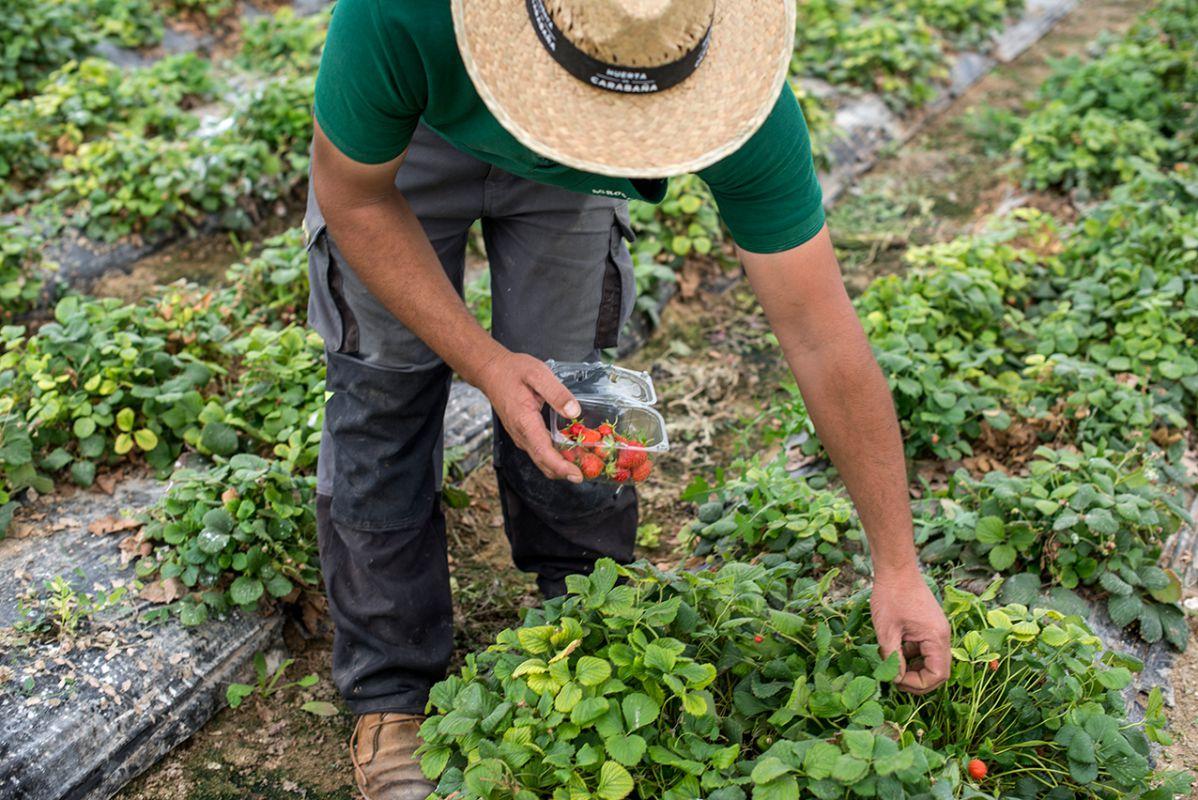 Las fresitas de la huerta de Carabaña, en temporada, tienen un sabor inolvidable.