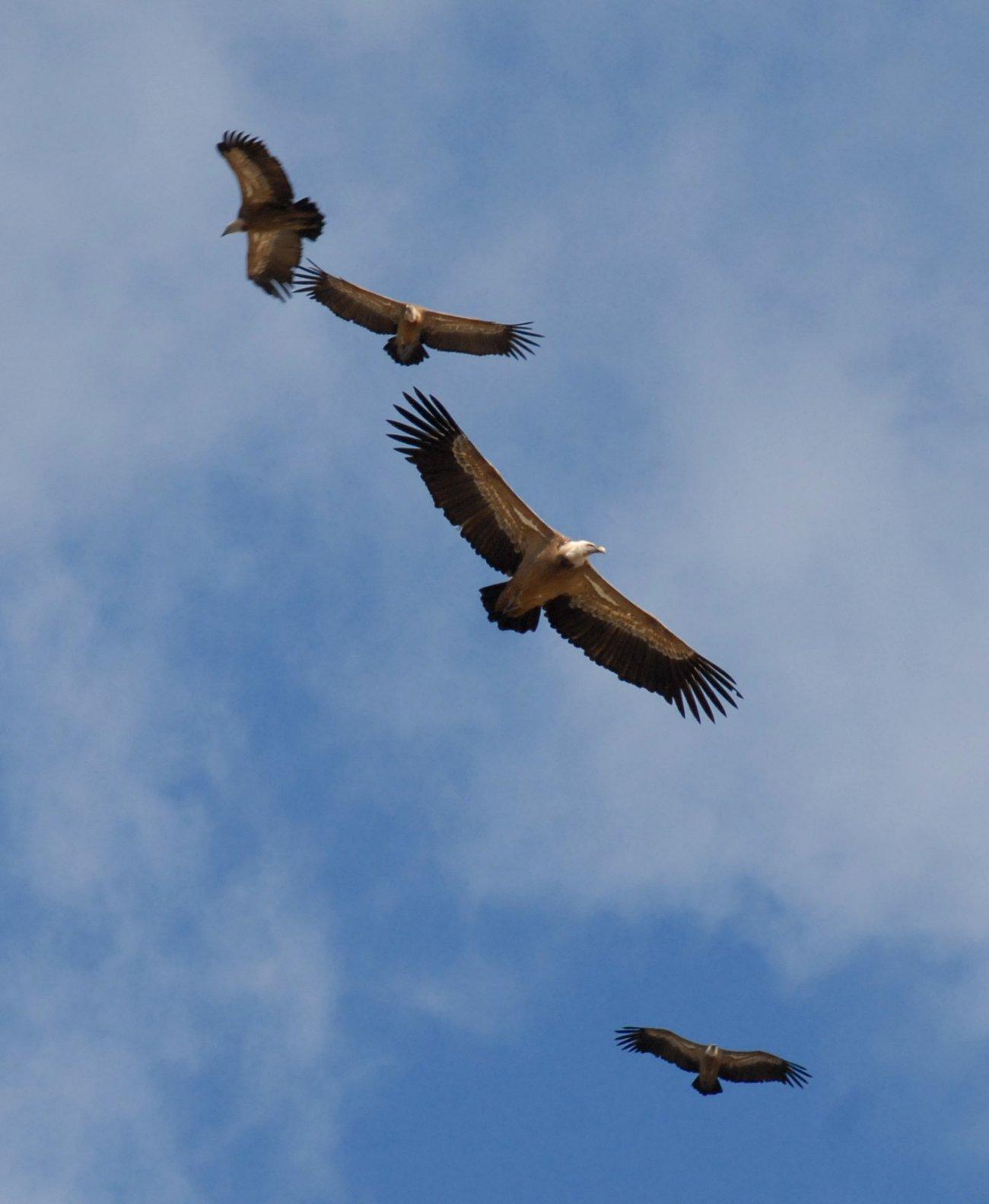 Parque Nacional de Monfragüe: Buitres
