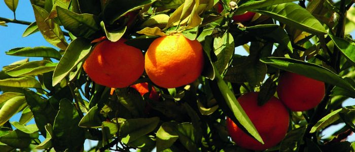 Naranjos valencianos.