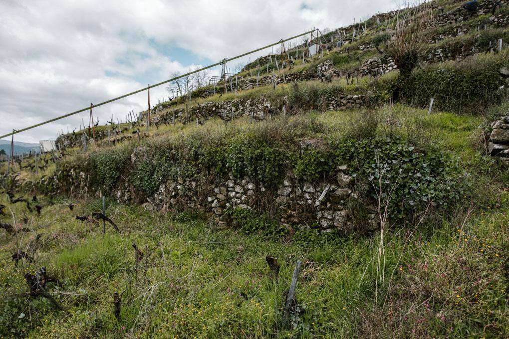 En la centenaria 'Finca Rosende', vides rodeadas de hierbas y plantas para estresarlas y que crezcan más fuertes.