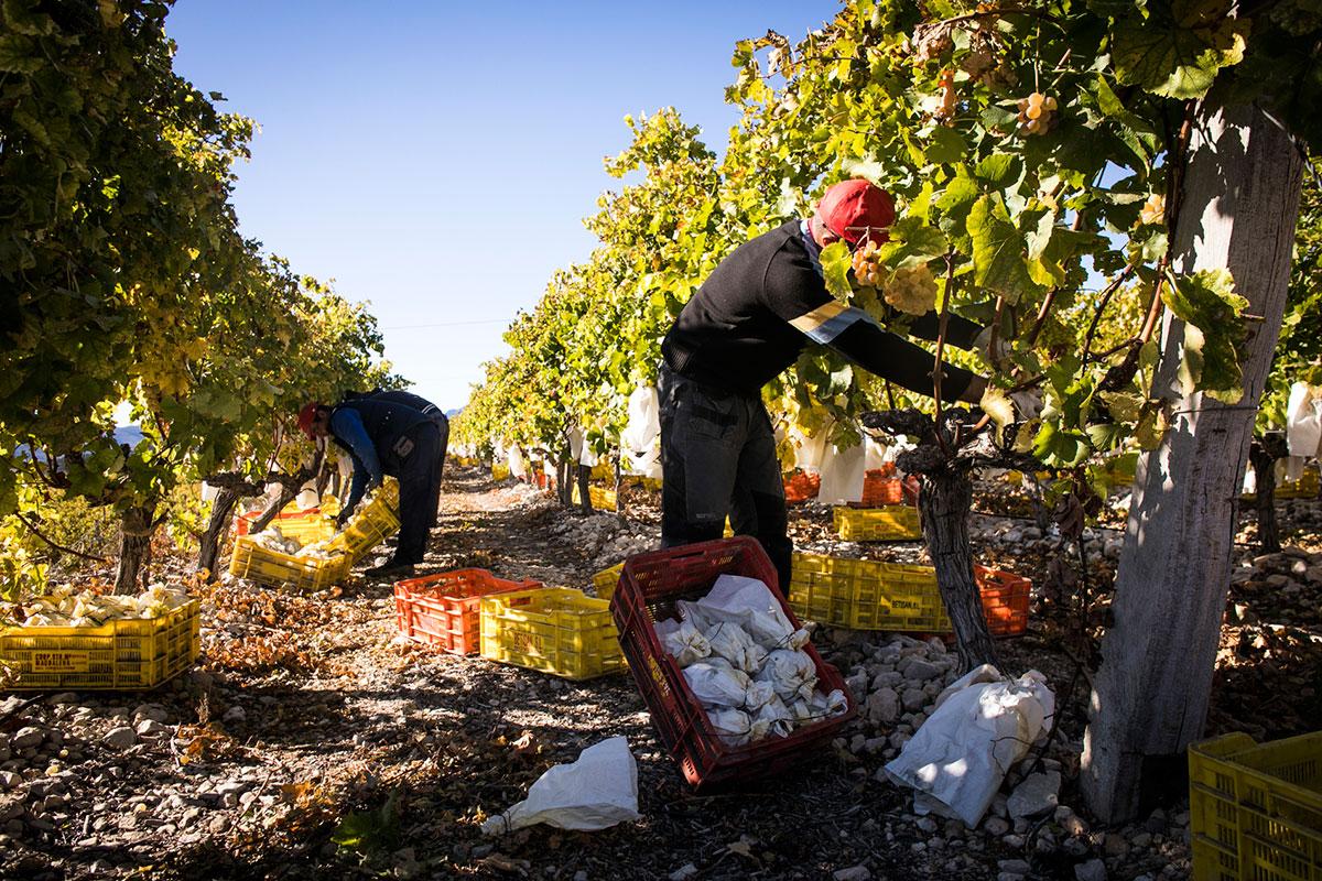 Cada uva se recoge y clasifica por su peso.