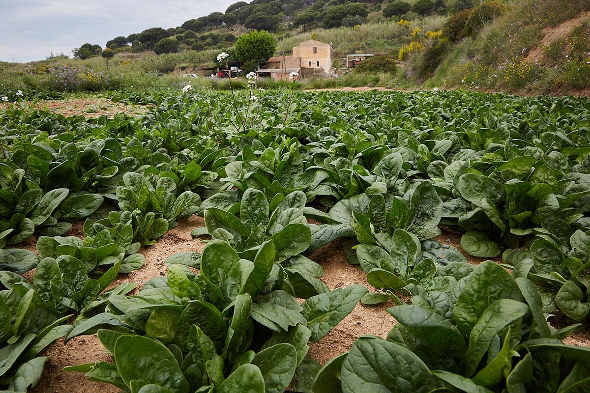 Plantación de espinacas de la finca de Can Met, de donde se abastece el local.