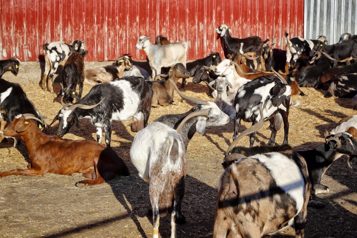 Las cabras majoreras y palmeras de la Biogranja Montesdeoca.