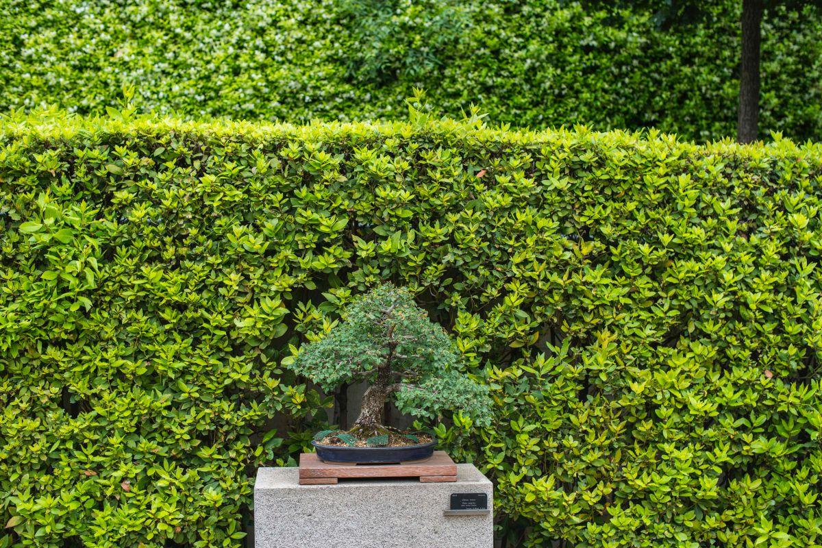 Vista de uno de los bonsáis que Felipe González donó al Real Jardín Botánico de Madrid.