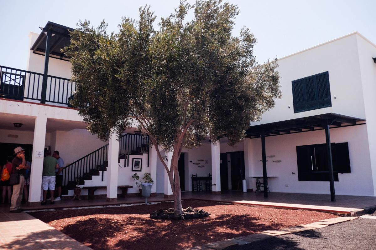 Este olivo, que da la bienvenida en la Casa, lo trajo Saramago en una maceta en un vuelo desde Portugal.