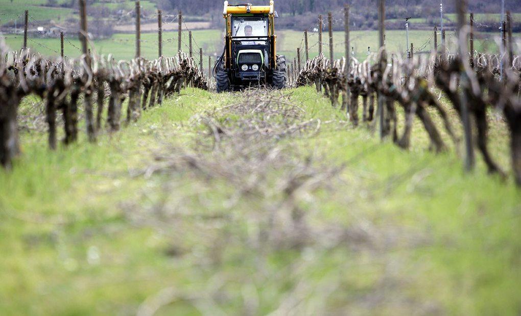 Cuidados en las viñas de Artomaña Txakolina. Foto: Arabako Txakolina