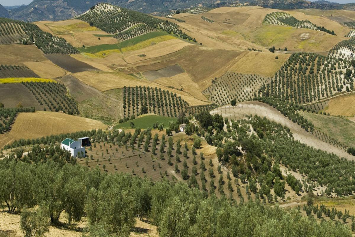 Campos de olivos en Monterrubio