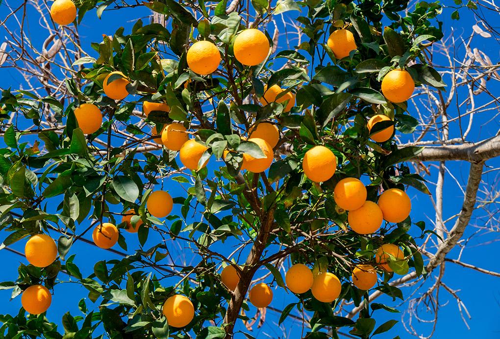 Sí, en Granada también hay naranjas. Fotos: Shutterstock.