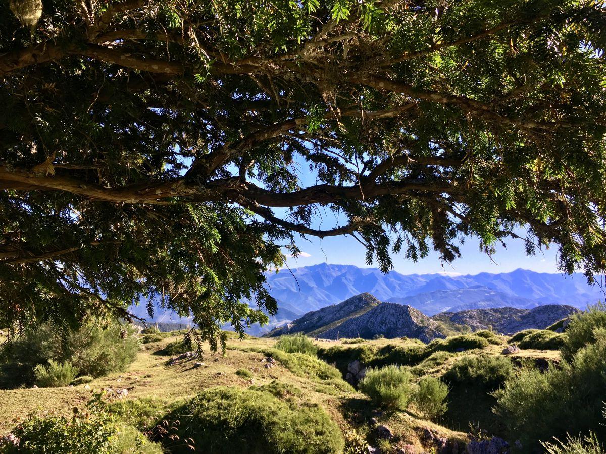 Las montañas palentinas vistas desde la Braña de los Tejos, con un ejemplar centenario, Cantabria.