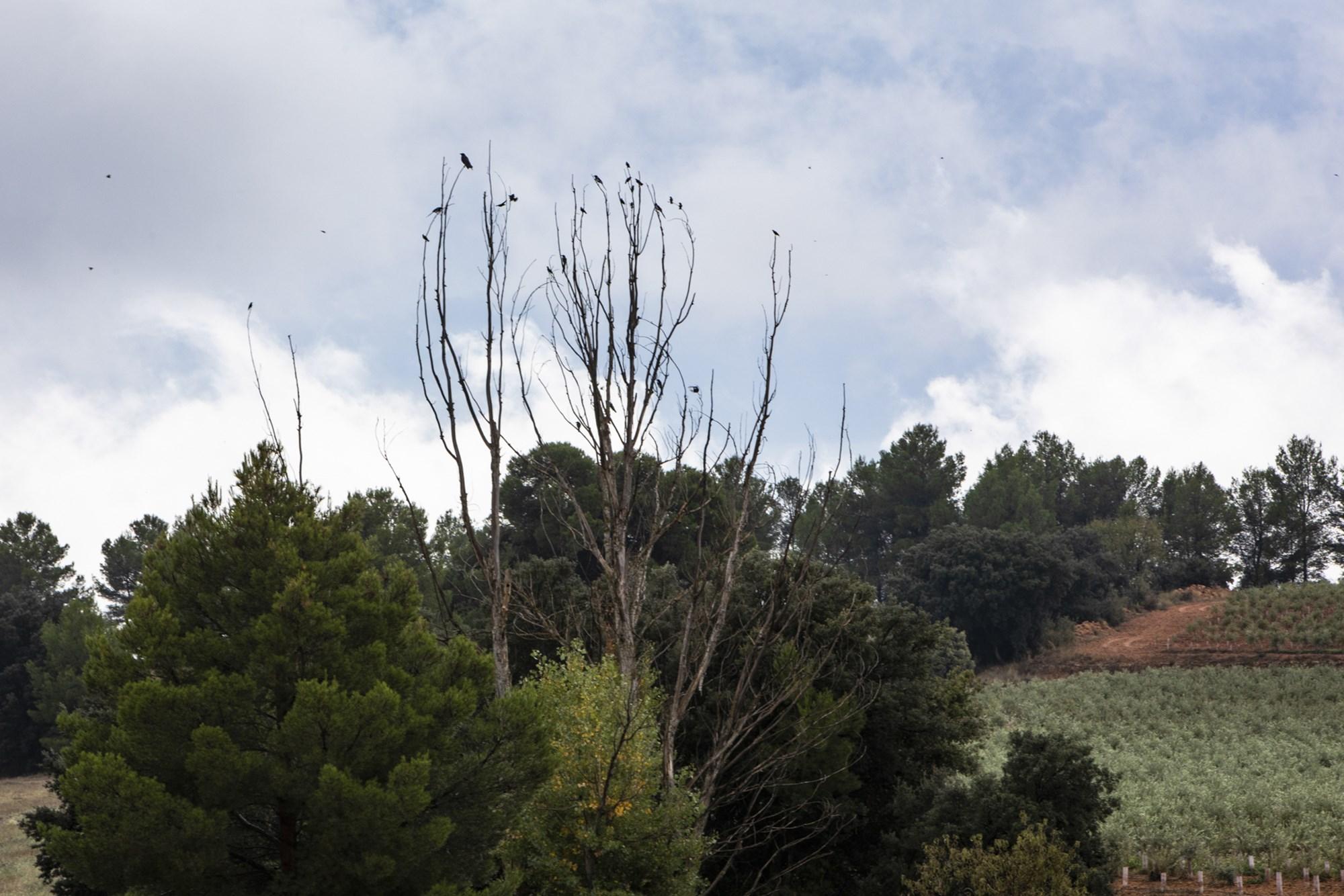 Corneja y estorninos posados en un árbol.