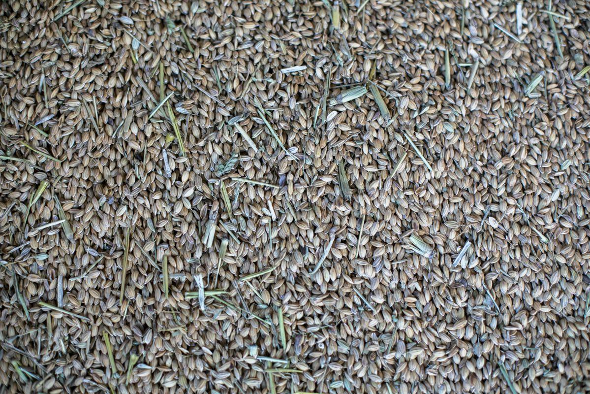 En la Finca Estell se cultivan hasta diez variedades distintas de arroz.
