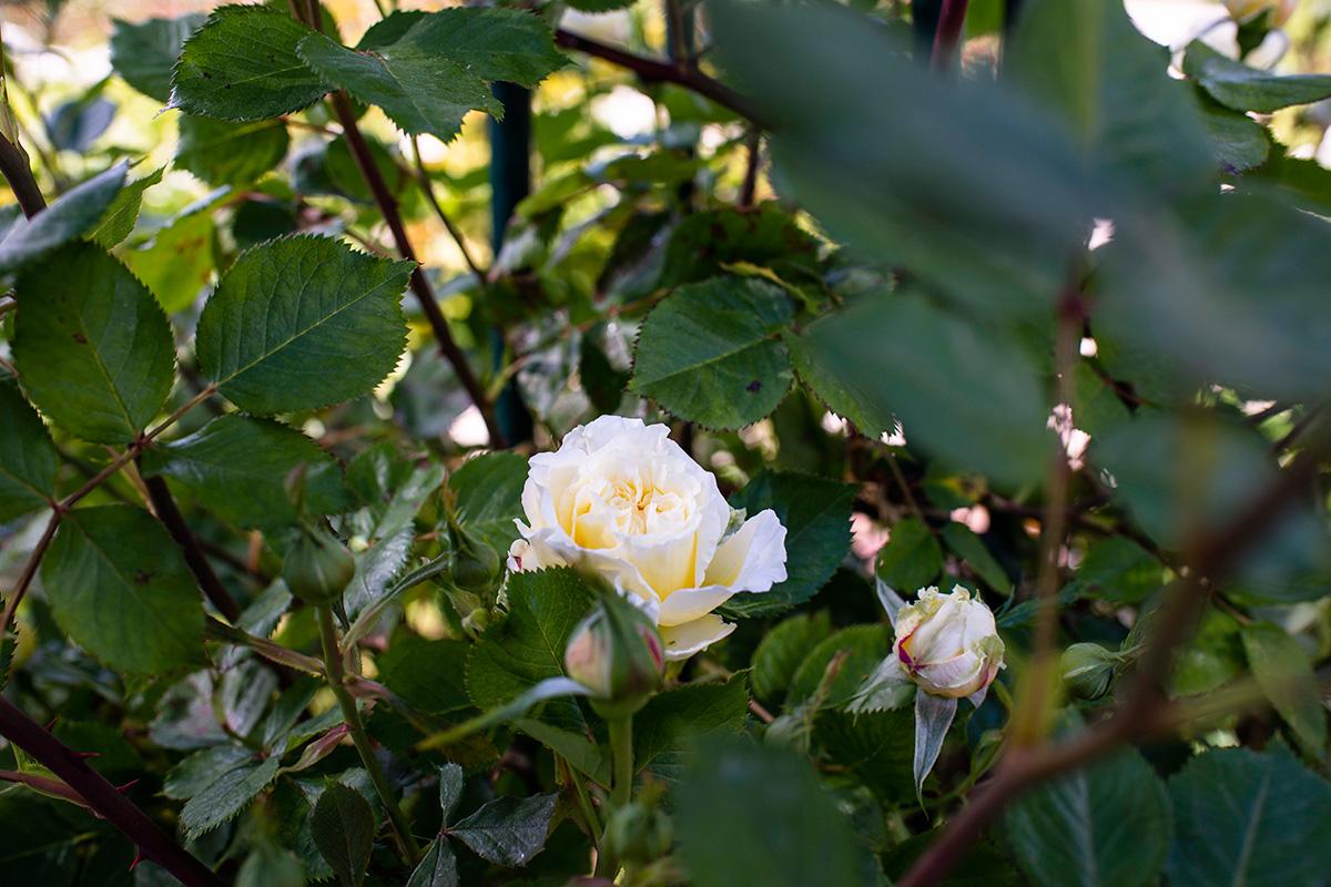 Una rosa blanca rodeada de capullos a punto de abrir en La Rosaleda del Parque del Oeste, Madrid.