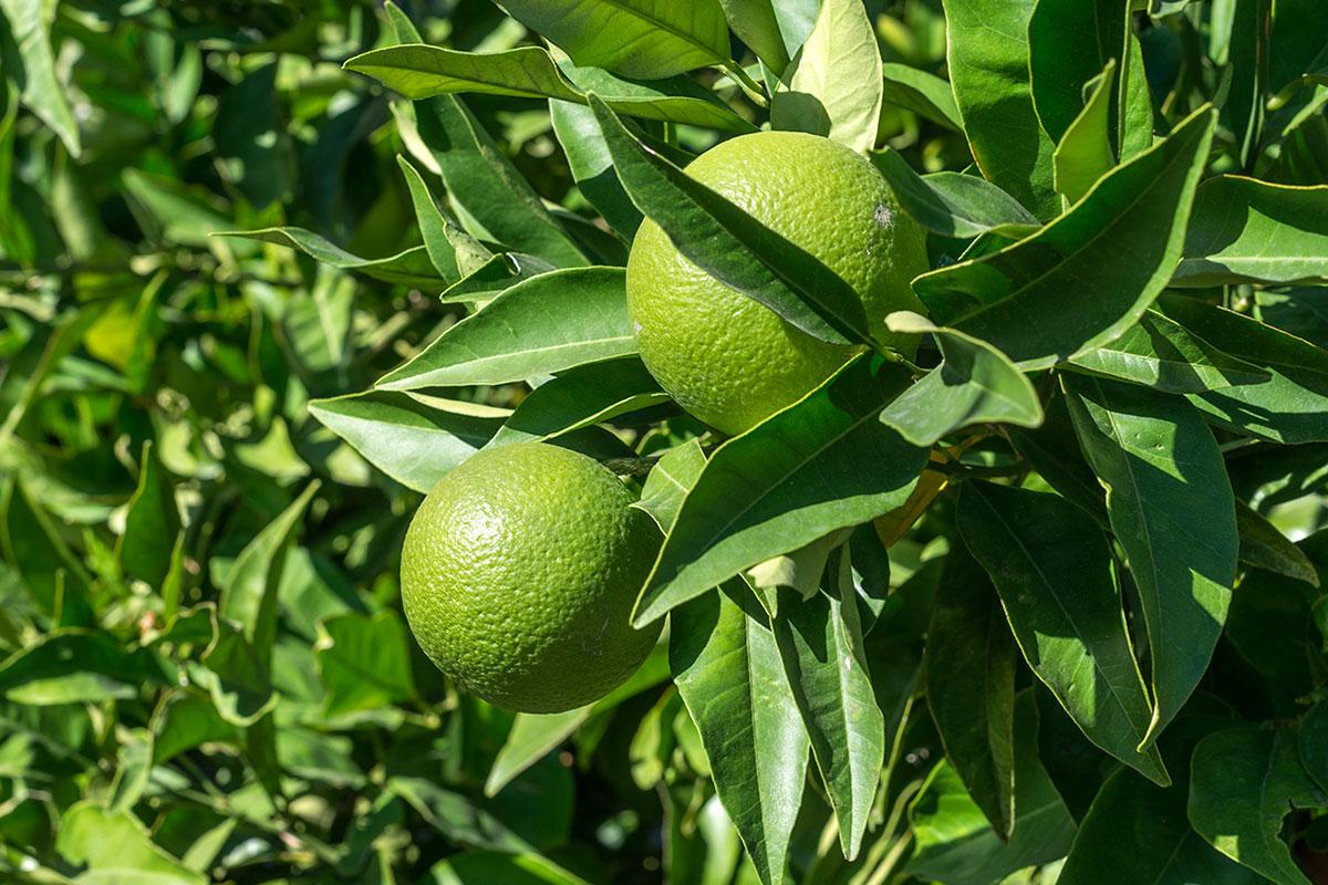 Huertos y limoneros de las casas.