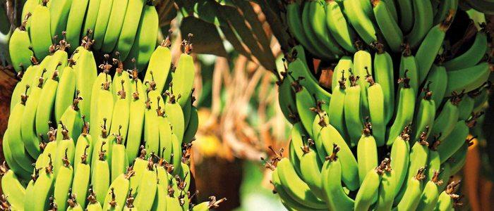 Bananos en flor.