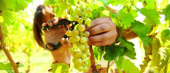 Recogida de la uva para el vino de La Palma.
