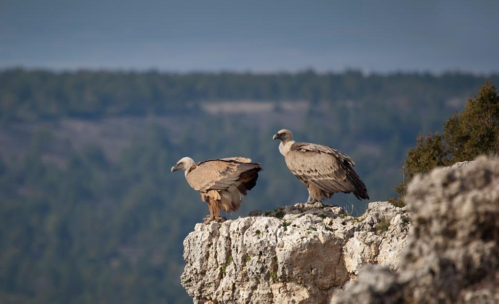 Una pareja de buitres leonados, los reyes del paisaje. Foto: Shutterstock.
