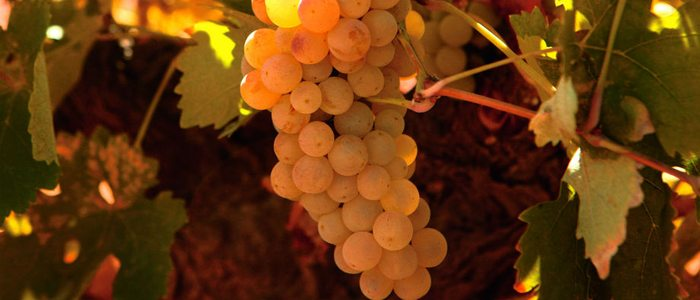 Uva verdejo empleada para el vino de Rueda.
