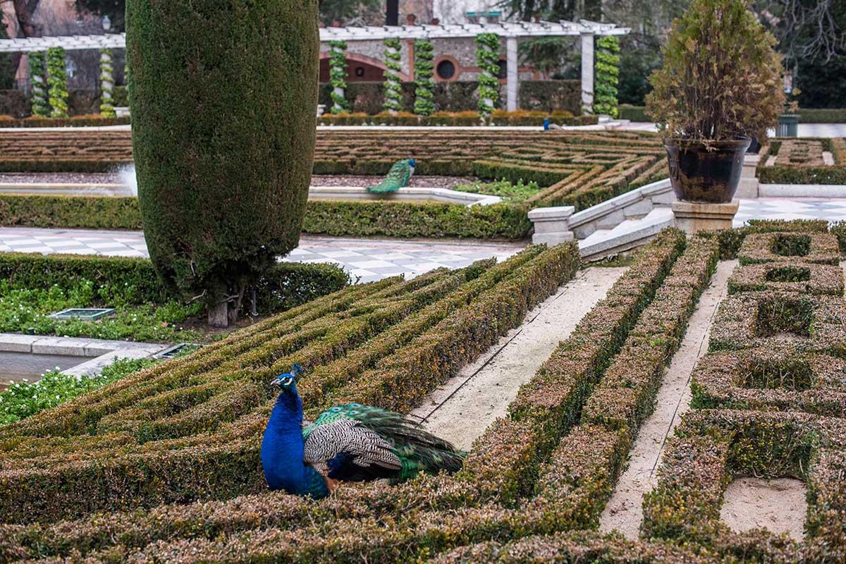 Por los jardines de Cecilio Rodríguez se pasean los pavos reales.