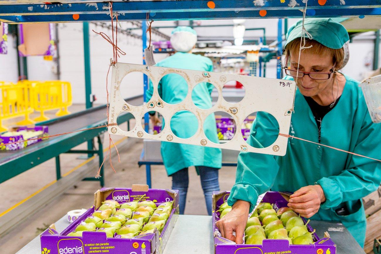 DOP Pera de Lleida: empleada colocando piezas en cajas