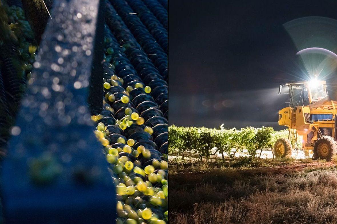 La vendimia en la D.O. Rueda se caracterirza por la recolección nocturna y mecanizada. Foto: Ruta del Vino de Rueda.