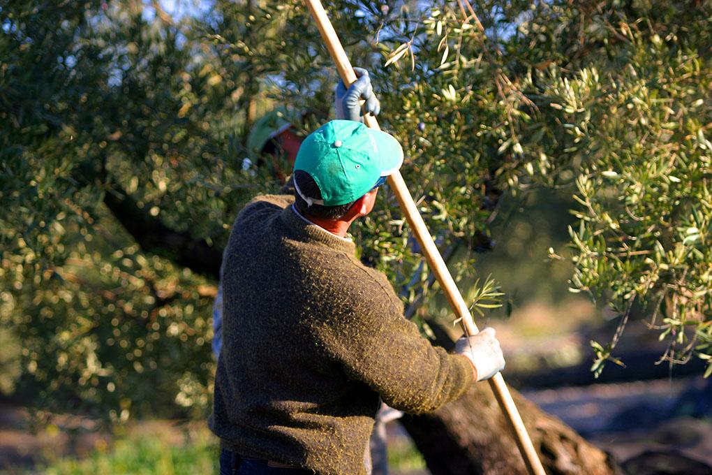 Jornaleros florean los olivos para coger las aceitunas 'al vuelo', las que dan el AOVE de máxima calidad. Foto: DipuJaén.