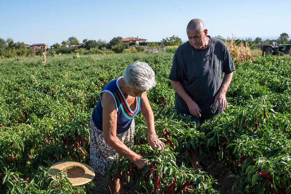 El trabajo de recogida en la tierra, primer paso para conseguir el pimentón