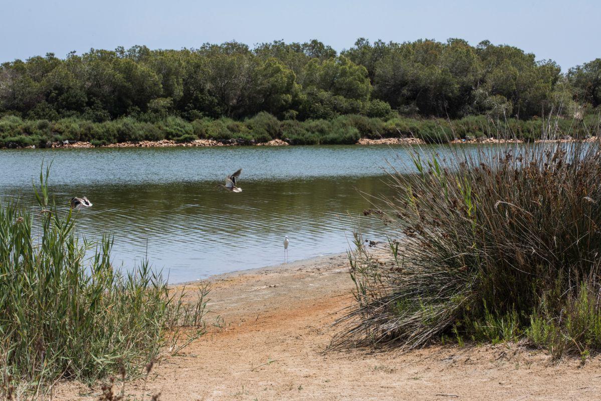 Las aves sobrevuelan y se posan en la orilla de la laguna de La Albufera (Parque Natural de La Albufera, Valencia).