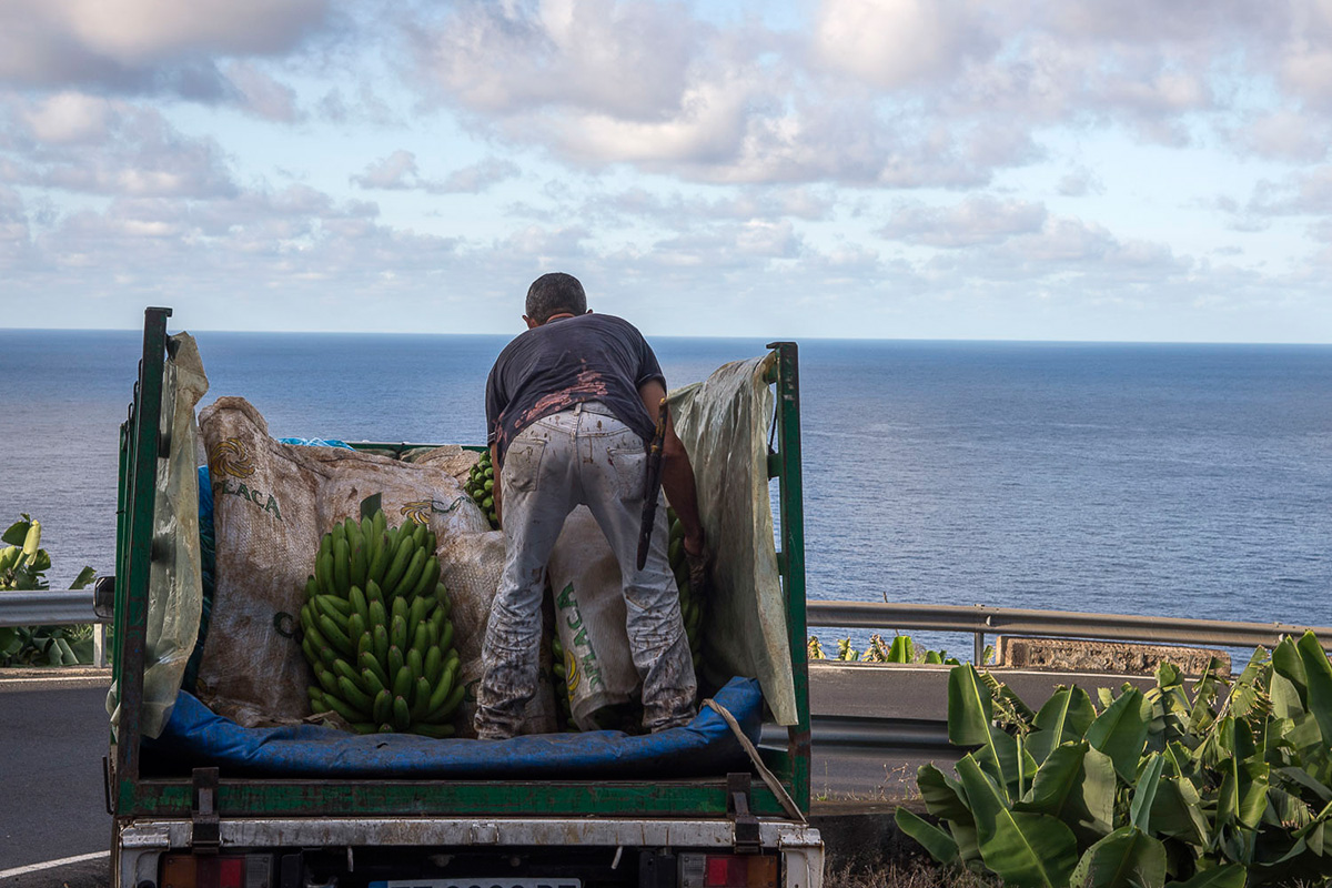 La Palma: Platanero cargando racimos de fruta.